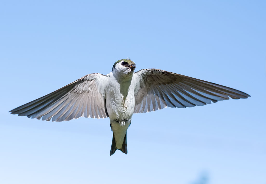 Violet-green Swallow in flight showing full wing-span