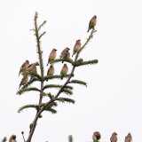 Waxwings flock in tree-2