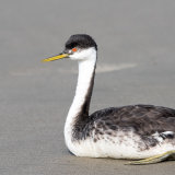 Western-grebe having a rest on beach-2