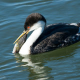 Western Grebe struggling with mussel on beak