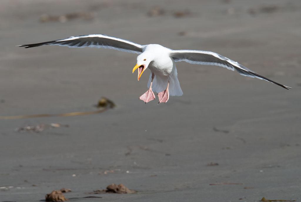 Western Gull calling landing