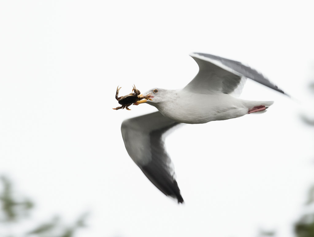 Western Gull in flight with crab-2