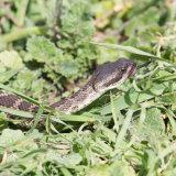 Western Rattlesnake in grass