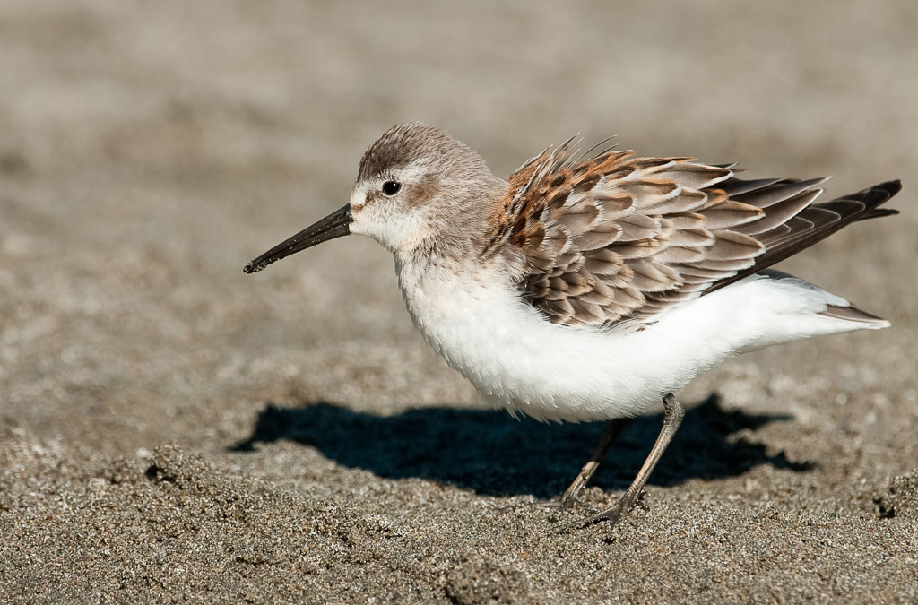 Western Sandpiper ruffled feathers