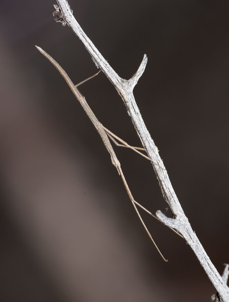 Western Short-horned Stick-insect 2