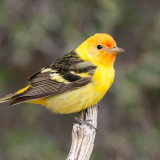Western Tanager first year-2