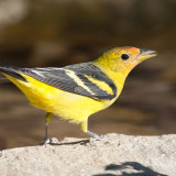 Western Tanager first year 2