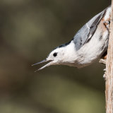 White-breasted Nuthatch calling-2