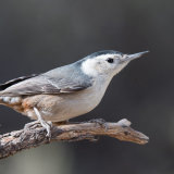 White-breasted Nuthatch on dead twig