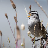 White-crowned Sparrow calling in grass