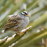 White-crowned Sparrow in snow