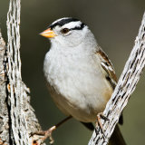 White-crowned Sparrow in yucca