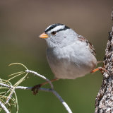White-crowned Sparrow on scrub oak
