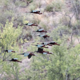 White-faced Ibis flying through Canyon-2