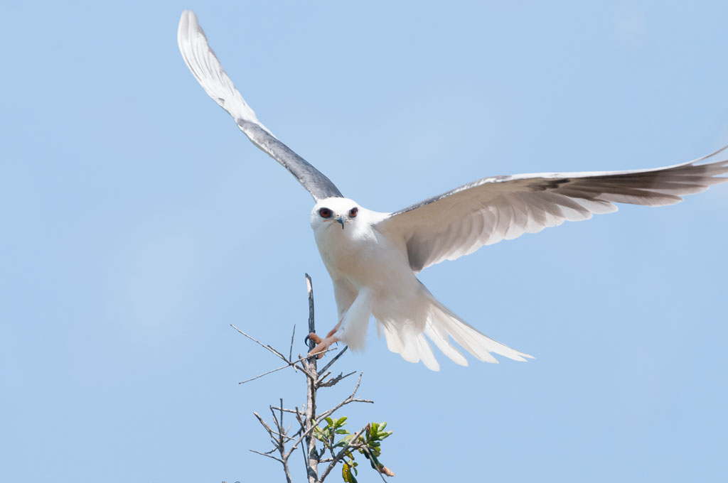 White-tailed Kite landing