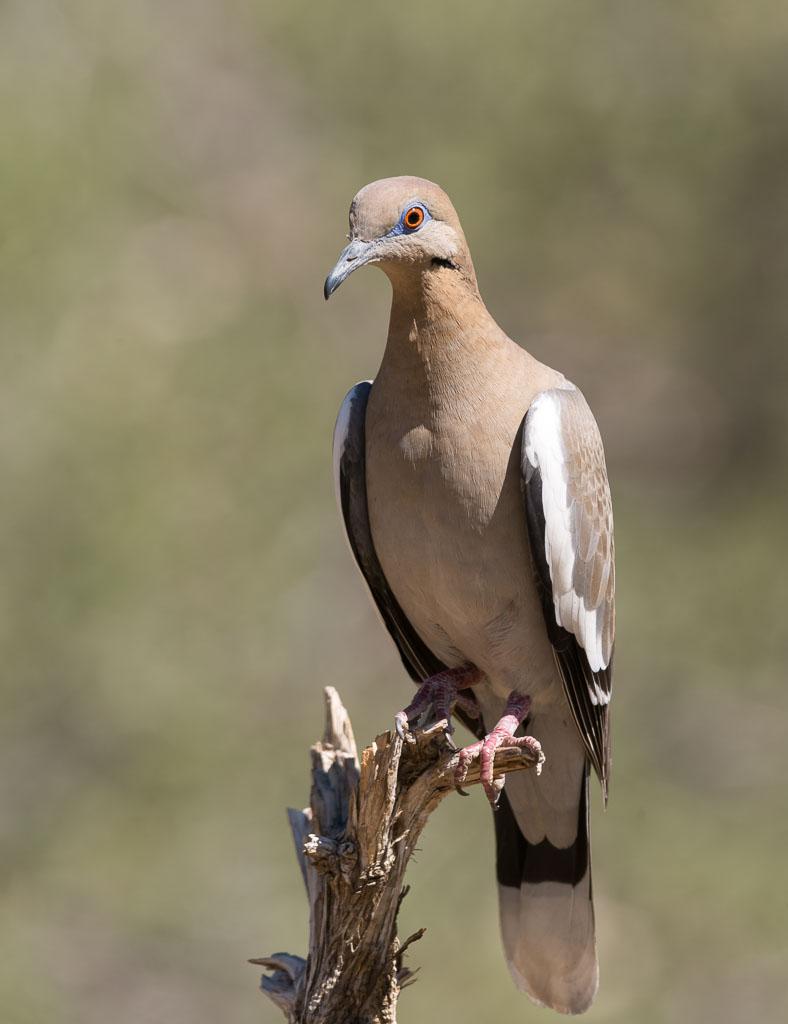 White-winged Dove-2