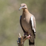 White-winged Dove-2