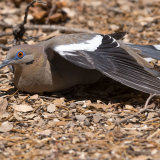 White-winged Dove basking-2