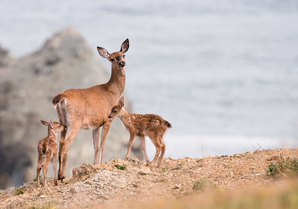 Whitetail Deer with fawns