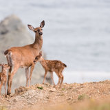 Black-tailed Deer with fawns