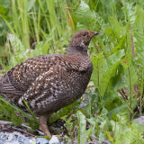 Willow Ptarmigan 2