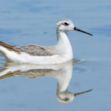 Wilson's Phalarope reflection