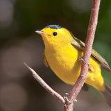 Wilsons Warbler on twig
