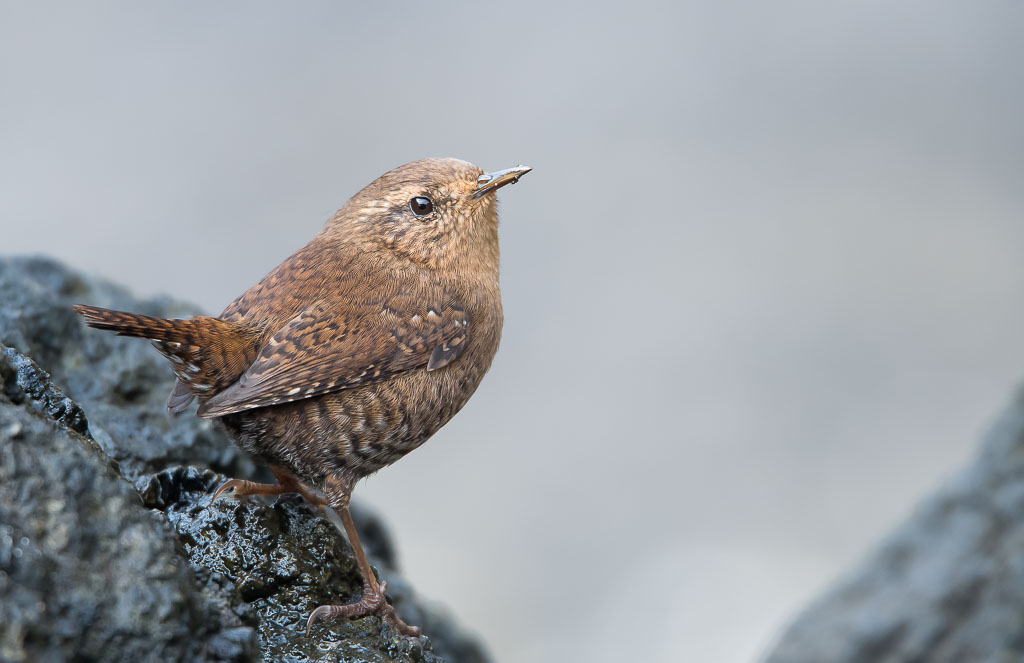 Winter Wren on rock