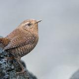 Winter Wren on rock