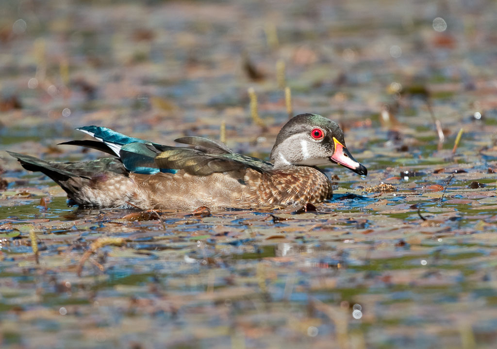 Wood Duck showing blue tail feathers