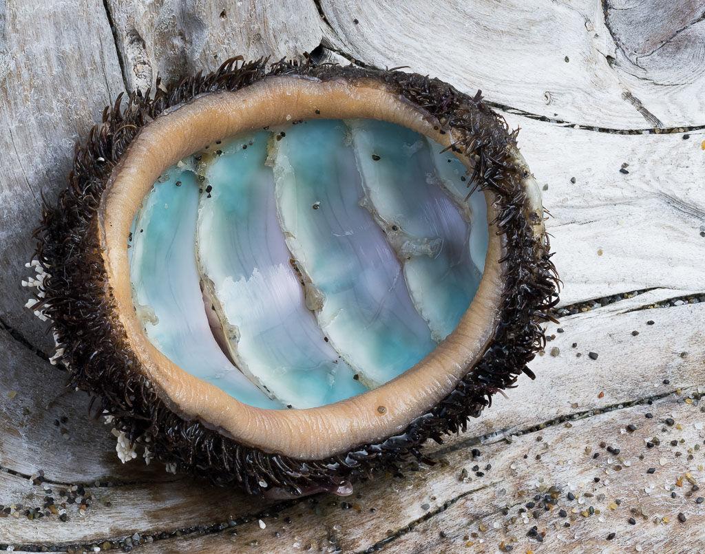 Woolly-chiton mollusk shell