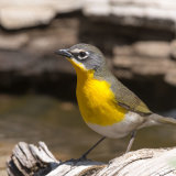 Yellow-breasted Chat-2