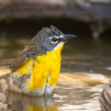 Yellow-breasted Chat bathing-2