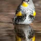 Yellow-rumped Warbler bathing