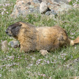Yellow Belly Marmot in grass