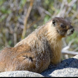 Yellow Belly Marmot lookout