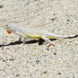 Zebra-tailed Lizard displaying dewlap