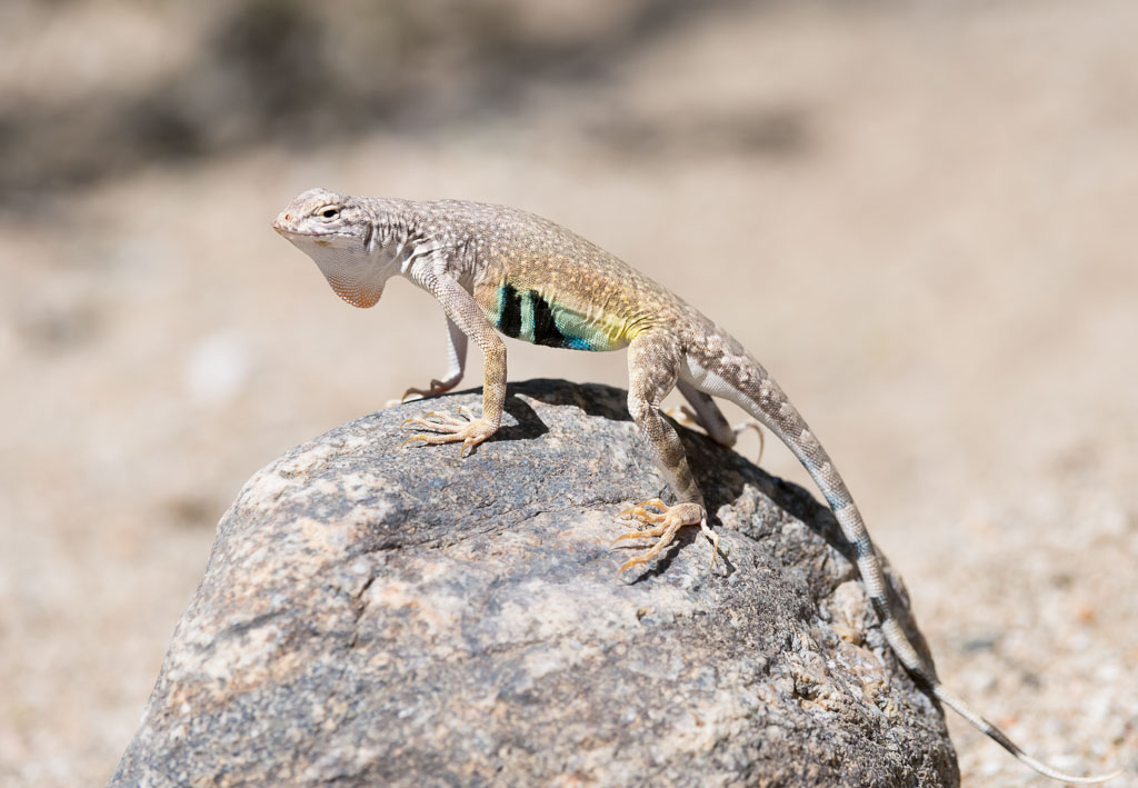 Zebra-tailed Lizard showing dewlap-2