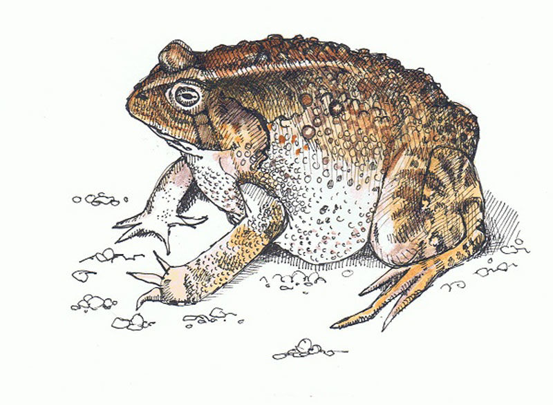 The Toad