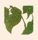 Elephant Ear Begonia - 2014