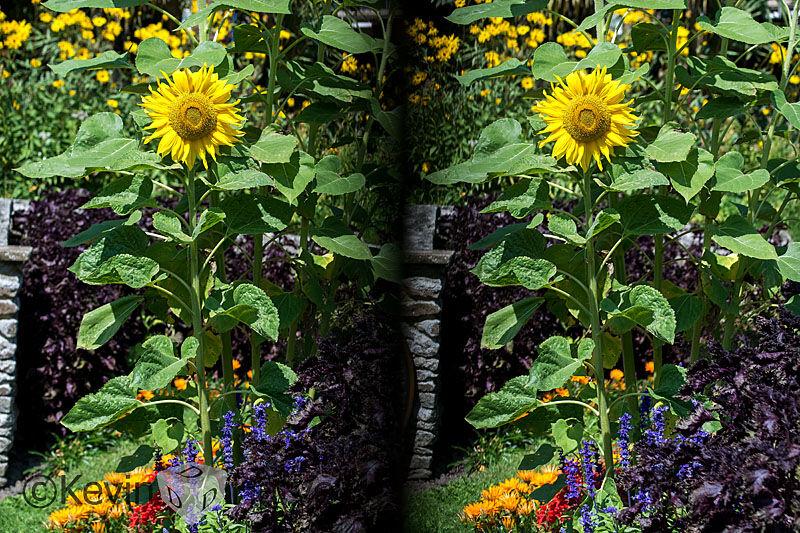 Beam Splitter sunflowers