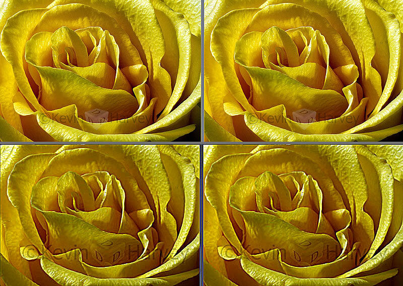 A Rose of Yellow
