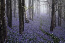 Bells-in-the-Mist