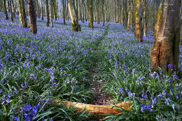 Bluebell-Path