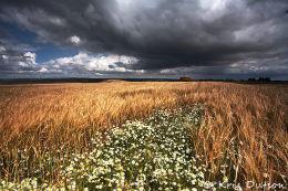 Daisies-and-Barley