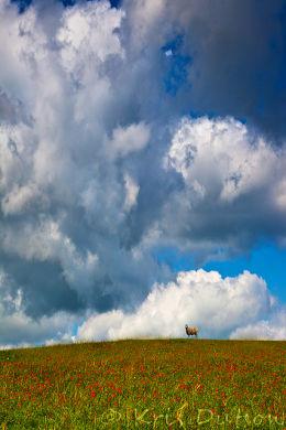 Sheep-&-Poppies