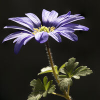 Anemone Blanda--Keith Bowser--2