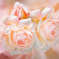 Blush--Catherine Knee--2