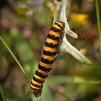 Caterpillar of Cinnibar Moth--Huw Thomas--1