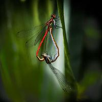 Damsel Flies - Huw Thomas